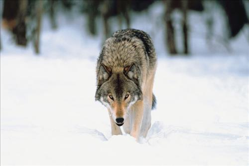 "AFBF: Gray wolf delisting ""common sense"""