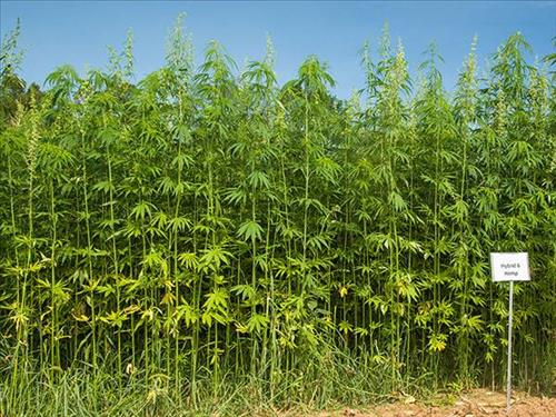 IDOA taking license applications for industrial hemp