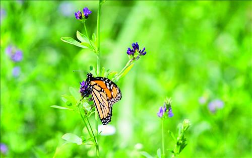 Fish and Wildlife pushes back deadline for monarch decision